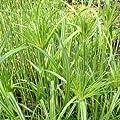 lichtnelke - Echter Papyrus ( Cyperus papyrus ) von Lichtnelke Pflanzenversand auf Du und dein Garten