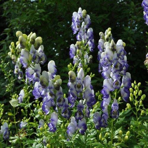 lichtnelke - Zweifarbiger Eisenhut (Aconitum cammarum 'Bicolor')