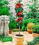 BALDUR-Garten Befruchtersorte Apfel Gala, 1 Pflanze