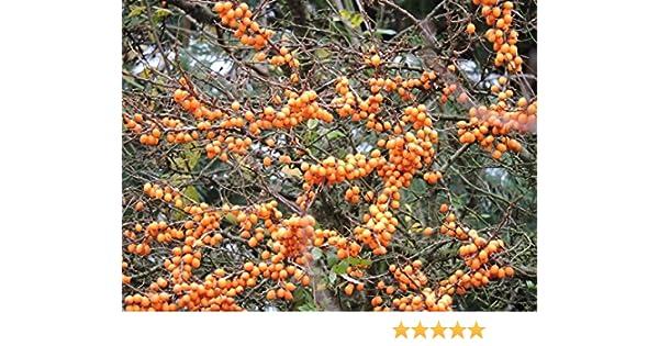 Selbstbefruchtender Sanddorn Friesdorfer Orange Container 40 bis 60 cm hoch Hipp