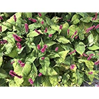 Portal Cool Petrorhagia amplexicaulis Polygonum amplexicaule, tonalità Rossa Bistort Ground Cover