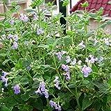 Pinkdose Aromatische Pflanzen Catnip, Katzenminze Samen, Aromatische Pflanzen Samen - 50pcs / lot