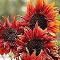Soteer Garten- 50 Stück Riesen Sonnenblume Samen Herbstzauber Sichtschutz Bunte Blumensamen Zierpflanzen für Zaun Mauern von Soteer - Du und dein Garten