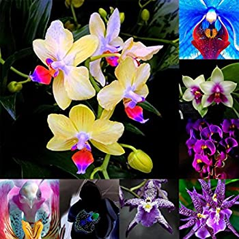 Soteer Garten 50 St/ück Orchid Samen Bumensamen selten Epipactis gigantea gek/örnter Blumengarten winterhart Gr/ün