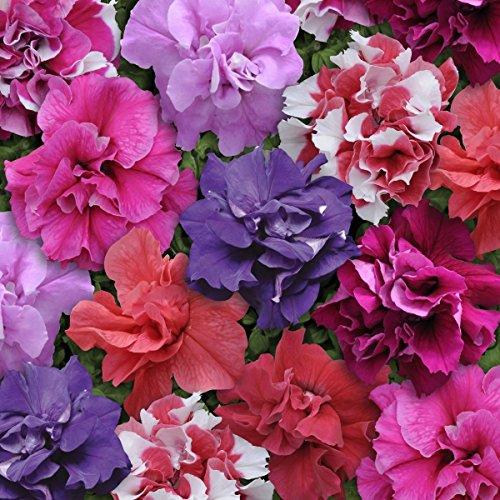 Il vous suffit de graines de fleurs???Petunia???Double Duo mixte F1?750?graines en granul?s???Bulk Lot