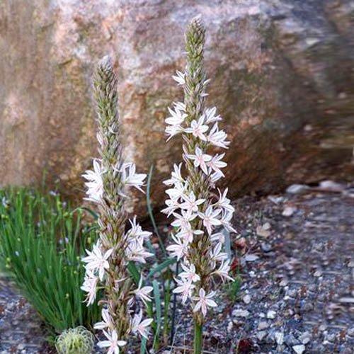Plant World Seeds - Asphodeline Taurica Seeds