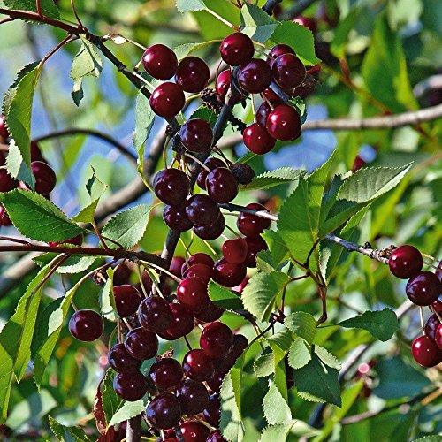 TOM-GARTEN, Obstpflanzen, Sauerkirsche 'Safir', 1Pflanze, Höhe: 125 - 150 cm / 22 cm, selbstfruchtend
