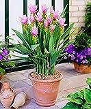 10 pcs/sac Thaïlande Curcuma graines, également appelées graines Siam Tulip, graines rares de fleurs membre de la plante de jardin familial Zingeraceae 1