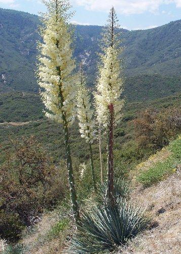 TROPICA - Großblütige Yucca (Yucca whipplei) - 10 Samen