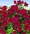 """BALDUR-Garten Hänge-Geranie Villetta® """"Burgundy"""",3 Pflanzen Pelargonium peltatum Hängegeranien von Baldur-Garten - Du und dein Garten"""