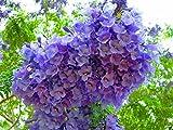 #9: Jacaranda Tree: Amazing Beautiful Ornamental Jacaranda Mimosifolia 20 SEEDS