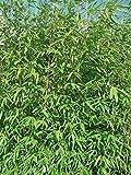 Fargesia nitida Winter Joy - Gartenbambus - verschiedene Größen (40-60cm - Topf 1 Ltr.)