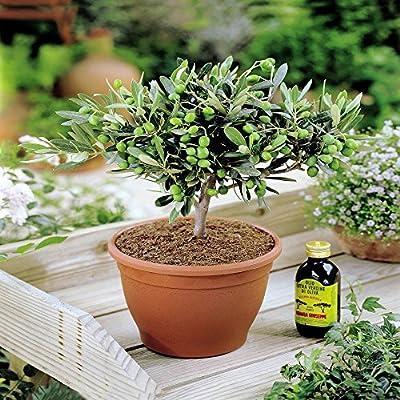 Olivenbaum von Meingartenshop - Du und dein Garten