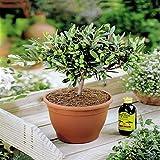 Olivenbaum - 1 baum