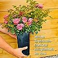 Rose Duo-Kletterrose, im 3-Liter-Topf von Gärtner Pötschke auf Du und dein Garten
