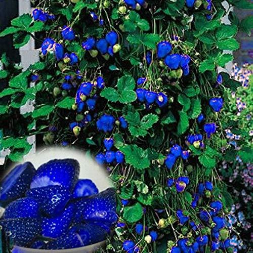 Cioler Seed House - Sugar Sweet Blue Graines de fraises Fruits et légumes Graines de fraises Fraises aromatiques pour jardin Balcon/terrasse