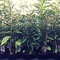 Chili Pflanzen im Topf - 12er Paket - Hot Edition von PepperPark GmbH - Du und dein Garten
