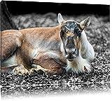 Pixxprint junger Elch schwarz/weiß auf Leinwand, XXL riesige Bilder fertig gerahmt mit Keilrahmen, Kunstdruck auf Wandbild mit Rahmen, günstiger als Gemälde oder Ölbild, kein Poster oder Plakat