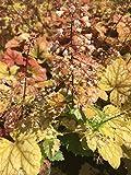 Garten-Purpurglöckchen Champagne Bodendecker orange blühend Staude Sonne-Halbschatten Heuchera x hybrida im 3 Liter Topf 1 Pflanze