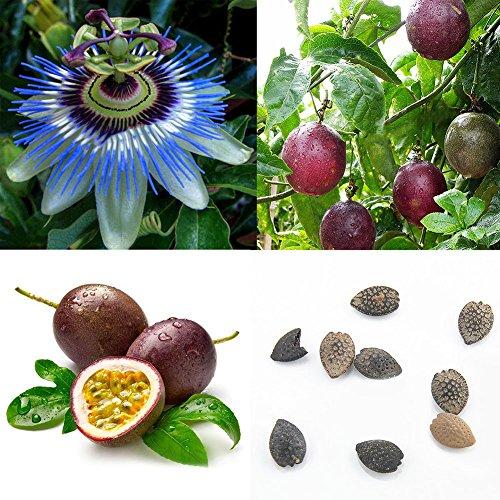 Homeofying Lot de 40 graines de fruits de la passion Vigne tropicale exotique Violet