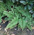Cornwall Tüpfelfarn Cornubiense - Polypodium interjectum von Baumschulen auf Du und dein Garten
