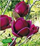 "BALDUR-Garten Magnolie""Genie"" winterhart"