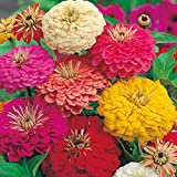 MaliaGarden Zinnia Giant Flower Seed - Mix Flower Seed - Pack Of 40 Seeds