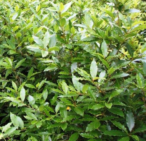 Future Exotics Lorbeerbaum Echter Gewürz Lorbeer Laurus nobilis winterhart 30-35 cm