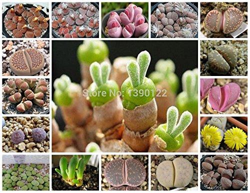 nuovi-semi-2015-20-pc-macchia-di-geranio-semi-perenne-fiore-semi-pelargonium-peltatum-semi-17-colori