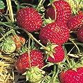 Grüner Garten Shop Erdbeere Sorte Senga Sengana, Erdbeerpflanze, beliebte Sorte, mittelspät, aromatisch, 10-er Tray von Grüner Garten Shop - Du und dein Garten