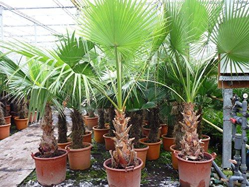 Washingtonia robusta MULTISTAMM - Mexikanische Washingtoniapalme - verschiedene Größen (180+cm - Topf Ø 40cm)