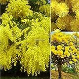 Portal Cool Pack / 50 Stücke: Goldene Mimose Samen Gelb Wattle Baum Samen Blumensamen Ornamental B98B