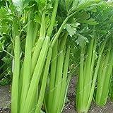 Las semillas de apio orgánico no OGM vegetales de semillas de Bonsai Planta de tiesto de plantas ornamentales cocina condimento de alimentos ricos en nutrientes 100 Semilla
