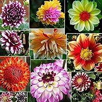 P dahlia colorÃes grande fleur fleur bulbes jardin tuber