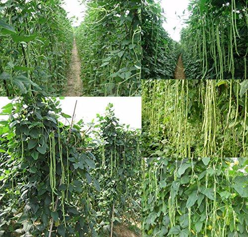 bohnen - 20 Samen - bis zu 1m lange Riesenbohnen - Schlangenbohne (Samen, Pfeffer)