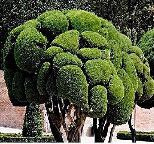 20x Cupressus sempervirens Nadelbaum Samen Blumen Garten Pflanze Neu B1046