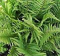 Goldschuppenfarn - Dryopteris affinis von Baumschule auf Du und dein Garten