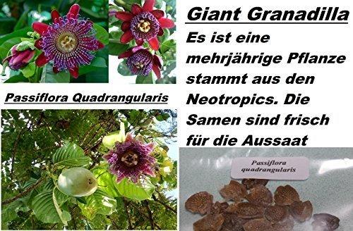4x-passiflora-quadrangularis-jardin-ornamental-planta-semillas-habitacion-novedad-semilla-273