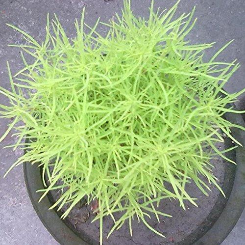Evergreen Rasen Dwarf Bermuda Gras-Samen ohne Trimmung, beständig gegen Trampeln Stadion Villa DIY Hausgarten Pflanze 50g / Packung