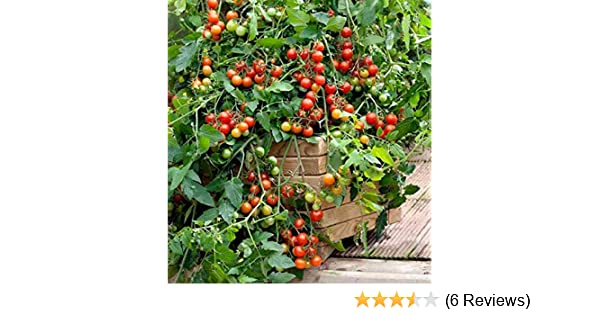 PREMIER SEEDS DIRECT Tomato Crimson Crush F1-10 Seeds