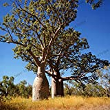 SVI frescas 10 piezas de semillas de árboles baobab para la siembra de 2 Gris