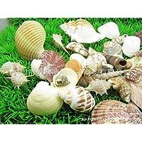 ZPP-Impostare shell naturale dei ricci di mare conchiglie conch conchiglia specie decorare la scena 250G
