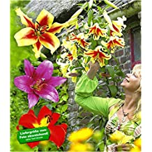 BALDUR-Garten Tree-Lily Pretty Woman 9 St/ück Baumlilien Lilium