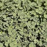 Acaena buchananii Staude Stachelnüsschen im Pflanzcontainer gewachsen, Bodendecker im 0,5L Topf gewachsen