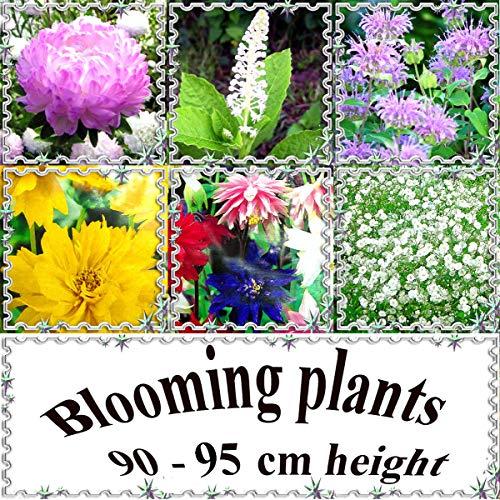 Go Garden Callistephus Ch. King Size Var: vivaces et annuelles Plantes Blooming 90-95 cm ou 32\