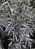 Baumschule Anding Rotlaubige Fliederbeere Sambucus nigra - Black Lace -