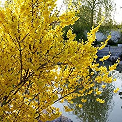 Müllers Grüner Garten Shop Goldglöckchen Forsythie Strauch gelbe Blüten 2 Pflanzen ca. 20-40 cm 1-2 Liter Topf