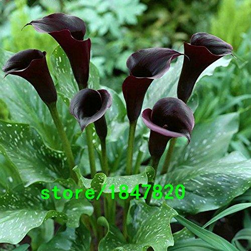 Graines Hot Sale Rare Rouge bord noir Graines Calla Balcon pot Bonsai Patio plantes Calla fleurs Graines 100PCS