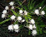 #10: Rare Brahmakamal Queen of the Night Nightblooming Epiphyllum oxypetalum Cactus Leaf Cutting (1 Healthy Leaf Cutting)