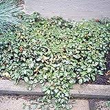 Teppichmispel - Cotoneaster dammeri var. radicans
